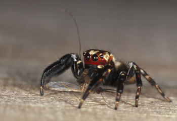 Vampire spiders reveal their killing secrets