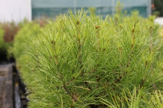 UC plants historic Gallipoli pine on Anzac Day