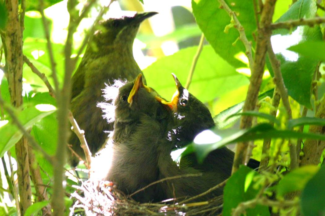 Bellbird and chicks