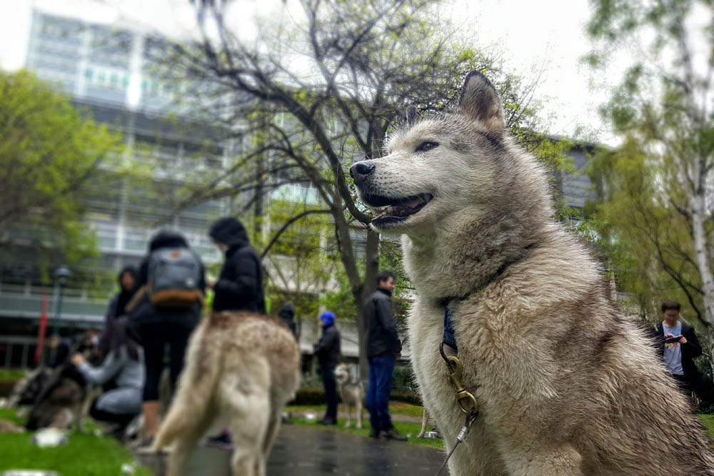 Mental health huskies